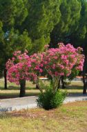 Dwarf Crape Myrtle Pink 5 Seeds - Longest Blooming Tree